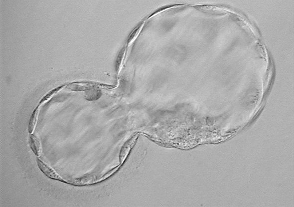 Hatching Blastocyst
